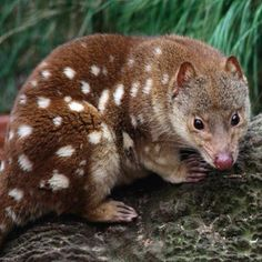 Quolls rest in tree hollows during the day and at night they feed on insects, rodents and occasionally, domestic chickens, they are marsupials and are found only in Australia.