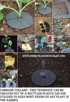 Cabbage Collars - this technique can be created out of a recycled plastic lid and utilized to keep down weeds on any plant in the garden