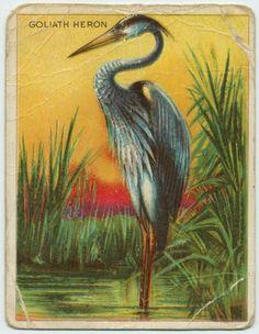 Goliath Heron cigarette card