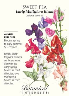 Early Multiflora Blend Sweet Pea Seeds - 3 grams