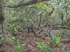 Pirangi cashew tree