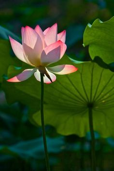 Lotus flower: Photo by Photographer Su dawen