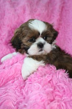 Shih Tzu's ~ just love them!
