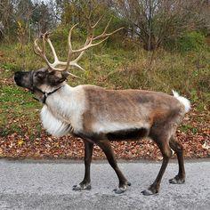 reindeer crafts coming soon Real Reindeer, Reindeer Craft, Reindeer Games, Christmas Yard Art, Deer Family, Scandinavian Folk Art, Animal Games, Woodland Animals, Animals