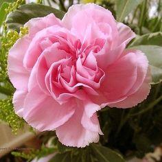50+ Carnation Pink Rose Flower Seeds , Under The Sun Seeds