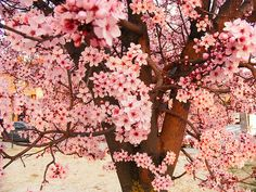 I love cherry blossoms, a widely celebrated flower in native Asian countries.  In Chinese culture, it indicates female beauty and sexuality.