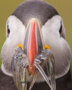 "0b7de8865a97 Bird Lovers on Instagram  ""Just a little bit hungry.. 🤗❤  goodbirds  (Atlantic Puffin) Credits to  birdtog"""