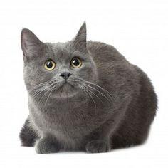 Beautiful Russian Blue cat.
