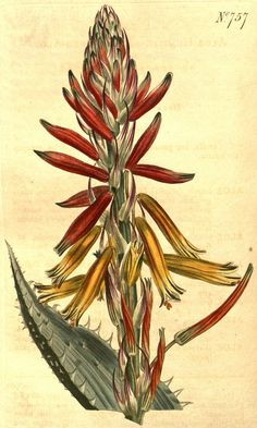 1845 Aloe humilis (L.) Miller / Curtis's Botanical Magazine, t. 757 [S.