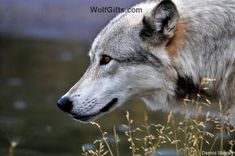 Visit WolfGifts.com for more cool wolf photos. Yellowstone Wolves, Visit Yellowstone, Alpha Wolf, Alaskan Husky, Wolf Photos, Puppy Mills, Wildlife Photography, Dog Life, Mammals