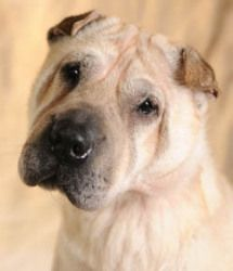 This one is PetFinder, not PAWS. She's beautiful and I want to bring her home with me. Maisey is an adoptable Shar Pei Dog in Chicago, IL. Maisey is a beautiful, snugly, sweet, and responsive, nine-year-old, 39-pound, female Shar Pei looking for a loving guardian. Maisey was found as a ...