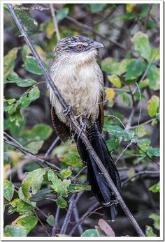 Birds of Southern Africa - Burchell's Coucal