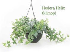De 7 hipste hangplanten als blikvanger thuis of op kantoor | Storyplanter Hedera Helix, Herbs, Plants, Herb, Ivy, Plant, Planets, Medicinal Plants