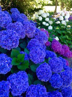 Best Indoor Garden Ideas for 2020 - Modern Amazing Flowers, Purple Flowers, Beautiful Flowers, Hydrangea Garden, Hydrangeas, Pink Hydrangea, Flowers Nature, Small Gardens, Dream Garden