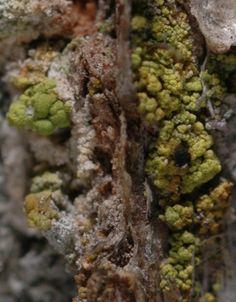 Chaenotheca chrysocephala small.jpg (500×640)