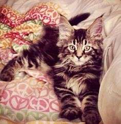 maine coon on the bed. So cute! Maybe this breed for our next cat. Our Tux needs a buddy.