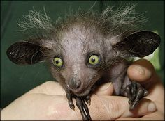 This is actually an aye-aye, a very rare kind of lemur, but personally I think it looks like a goblin.
