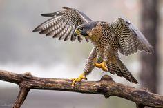 A Peregrine Falcon on a perch. Falcon Tattoo, Largest Bird Of Prey, Hawk Logo, Hawk Tattoo, Hawk Bird, Peregrine Falcon, Red Tailed Hawk, Animals, Ideas