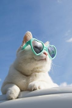 sunglasses cat; Shorty chillin' and relaxin'; gangsta