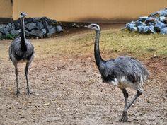 Neues Zebra und neue Nandus im Zoo Vivarium Darmstadt