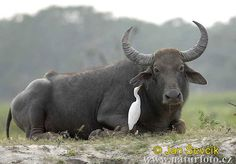 Water buffalo are massive, powerful animals, some weighing in at more than 1,000kg. Their size deters all wild predators apart from the tiger and they still present a challenge for such a big cat.