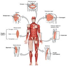 Muscular System Diagram Muscular System Diagram With Functions Diagram Of Anatomy. Muscular System Diagram Human Bony And Muscular System Front And Re. Skeletal Muscle Anatomy, Muscular System Anatomy, Human Muscular System, Human Body Anatomy, Human Anatomy And Physiology, Human Body Muscles, Arm Muscles, Major Muscles, Muscular System Labeled