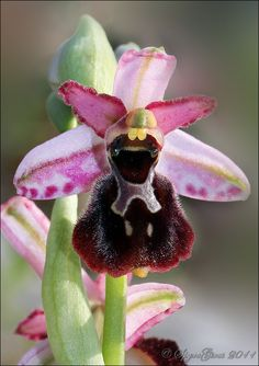 Ophrys exaltata subsp. montis-leonis - Flickr - Photo Sharing!