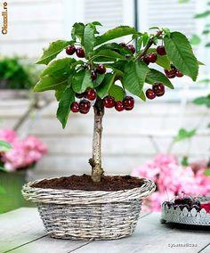 RP: Cherry