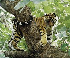 Tiger cub playfully climbing the lower branches of a tree. Image: Sanat Shodhan/Sanctuary Awards 2003.