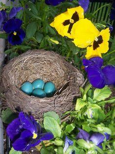 Beautiful blue eggs!