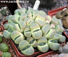 Lithops olivasea (Aizoaceae)  I think this was the succulent that Nick liked best!