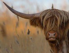 Highland cow by Jani Ylikangas