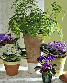 Questions-réponses : 6 trucs à connaître pour des plantes d'intérieur en bonne santé - Détente Jardin Green Bay, House Plants, Questions, Sweet Home, Saintpaulia, Violet, Gardening, Gardens, Purple Flowers