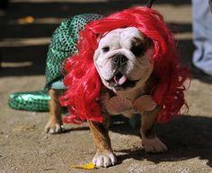 Halloween dog parade: Chopstick the Bulldog dressed as Ariel, the Little Mermaid