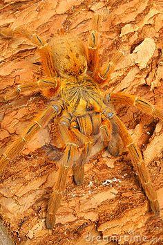 Usambara Orange Baboon Tarantula