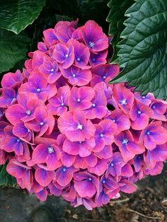 Intense coloured hydrangea!