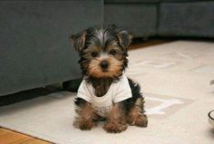 Teacup Yorkie - I MUST have you.