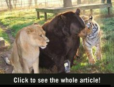 Unexpected Friends. A bear, a lion and a tiger.