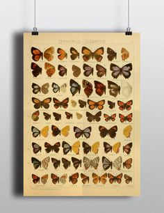 Antique 1800s Butterfly Science Chart Poster Art by TheBlackVinyl