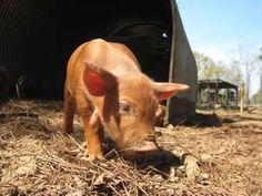 Red Wattle Hog Association website