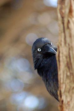 Little Crow by roylesafaris on Flickr.