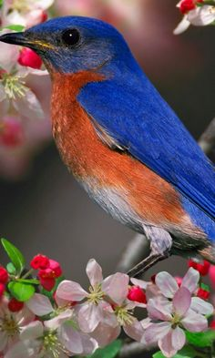 Blue Bird and Blossoms. Occasional visitor to our yard. We put meal worms out for them.