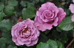 エンゼルフェイス:バラの家>中輪、四季咲き、濃藤紫色、強香、横張り性、樹高80cm~1m、樹勢 普通。 鉢植え可。ウェーブのかかった花弁と、やや濃い紫色の花色が、とても可愛らしいバラです。特に寒い日の朝方開花した花は逸品です!花弁もしっかりして、強香の香りも素晴らしいです♪ 樹高は低めですが、パープル系の中では育てやすいです。