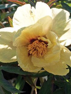 The pale yellow petals overlap each other to form a nice, semi-double shape. In the centre sits a small boss of golden stamens which almost hide the sm. All Plants, Types Of Plants, Claire Austin, Tree Peony, Red Flare, Plant Order, Root System, White Wings, Order Up