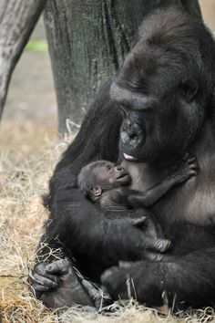 Another beautiful addition to the Brookfield Zoo family: the birth of a female western lowland gorilla on November 4. — at Brookfield Zoo.