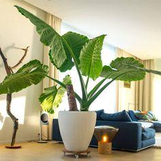 Kamerplanten met groot blad kopen bij 123kamerplanten! ✓ Gratis verzending vanaf €50 ✓ Leuke kamerplanten vers van de kweker ✓ Grootste assortiment ✓ Particulier & Zakelijk