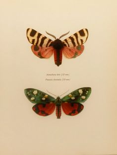 Butterfly+Wall+Art+Print+Scarlet+Tiger+Moth+1960s+by+earlybirdsale,+$8.00