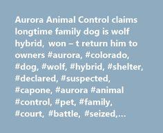 Aurora Animal Control claims longtime family dog is wolf hybrid, won – t return him to owners #aurora, #colorado, #dog, #wolf, #hybrid, #shelter, #declared, #suspected, #capone, #aurora #animal #control, #pet, #family, #court, #battle, #seized, #holding http://free.nef2.com/aurora-animal-control-claims-longtime-family-dog-is-wolf-hybrid-won-t-return-him-to-owners-aurora-colorado-dog-wolf-hybrid-shelter-declared-suspected-capone-aurora-animal-contr/  # Aurora Animal Control claims longtime…