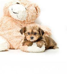 Shorkie Puppy...love!