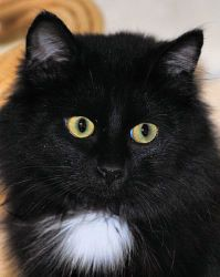 Panther is an adoptable Domestic Medium Hair-Black Cat in Ponderay, ID. The picture lady says I don't look real. She says I look like a little stuffed kitten, or maybe a Smurf